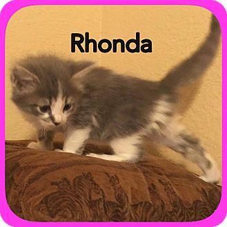 Domestic Longhair Kitten for adoption in Ravenna, Texas - Rhonda