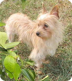 Yorkie, Yorkshire Terrier Mix Dog for adoption in Umatilla, Florida - Titan