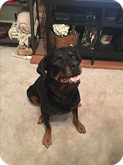 Rottweiler Dog for adoption in Gilbert, Arizona - Klein
