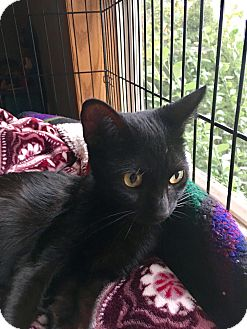 Domestic Shorthair Cat for adoption in Indianapolis, Indiana - Blacky