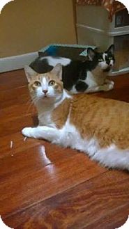 Domestic Shorthair Cat for adoption in Chicago, Illinois - Sparky