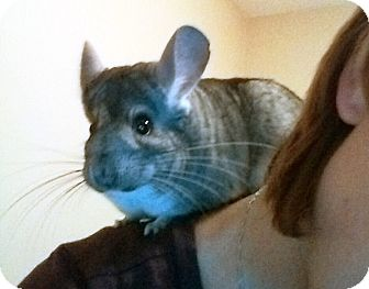 Chinchilla for adoption in St. Paul, Minnesota - Chili