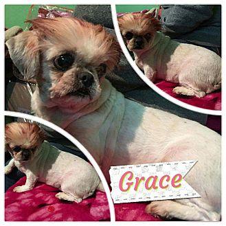 Pekingese/Shih Tzu Mix Dog for adoption in LAKEWOOD, California - Graci