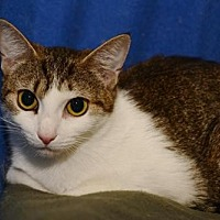 Domestic Shorthair Cat for adoption in Sanford, Florida - Francine