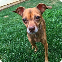 Adopt A Pet :: Darcy - Yuba City, CA