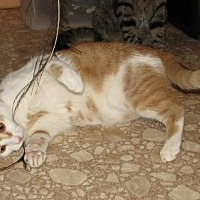 Domestic Shorthair Cat for adoption in Spring Grove, Pennsylvania - Gallus (young adult male)