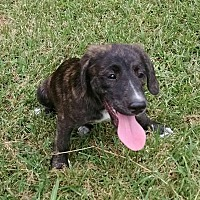 Hound (Unknown Type)/Labrador Retriever Mix Puppy for adoption in Great Falls, Virginia - Arvi