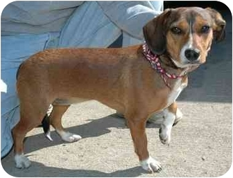 Beagle/Dachshund Mix Dog for adoption in Westfield, New York - Tippy