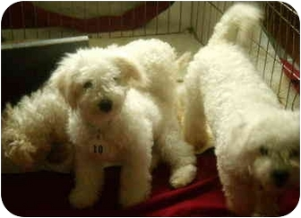 Bichon Frise Puppy for adoption in House Springs, Missouri - Samuel, Jacob and Eli