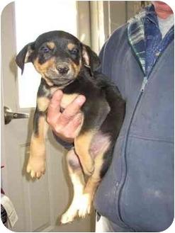 Labrador Retriever Mix Puppy for adoption in Florence, Indiana - Parton
