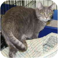 Domestic Shorthair Cat for adoption in Milwaukee, Wisconsin - Shima