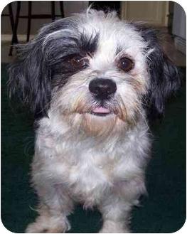 Shih Tzu Mix Dog for adoption in Sacramento, California - Angela!