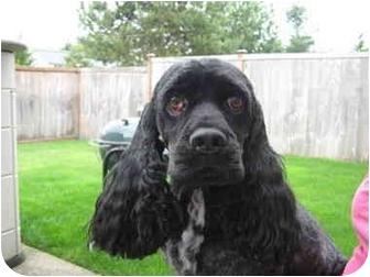 Cocker Spaniel Dog for adoption in Tacoma, Washington - Buster