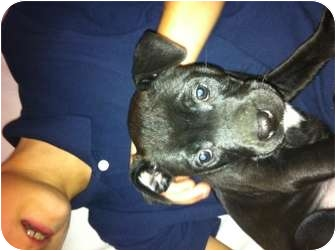 American Pit Bull Terrier/Boxer Mix Puppy for adoption in Hammonton, New Jersey - Middie