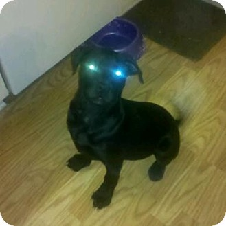 Labrador Retriever/American Pit Bull Terrier Mix Puppy for adoption in Claypool, Indiana - Zeplin