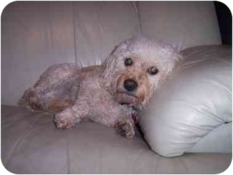 Bichon Frise/Havanese Mix Dog for adoption in Rochester, New York - Miss Minnie