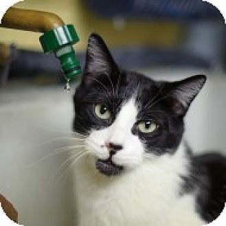 Domestic Shorthair Cat for adoption in Lombard, Illinois - Count Von Count