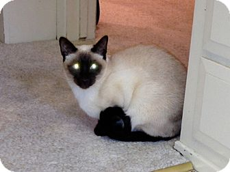 Siamese Cat for adoption in Laguna Woods, California - KoKo and Roxy