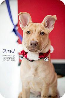Shepherd (Unknown Type)/Labrador Retriever Mix Puppy for adoption in Detroit, Michigan - Azul-Adopted!