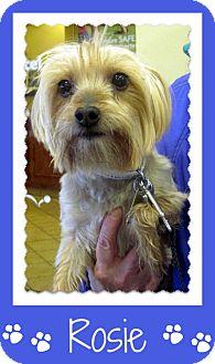 Silky Terrier/Yorkie, Yorkshire Terrier Mix Dog for adoption in Overland Park, Kansas - Rosie