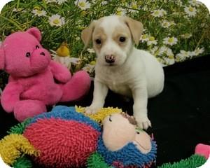 Dachshund Mix Puppy for adoption in Lufkin, Texas - Tyler