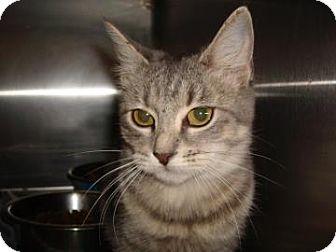 Domestic Shorthair Cat for adoption in Miami, Florida - Aisha