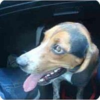 Adopt A Pet :: Charlie McKenzie - Phoenix, AZ