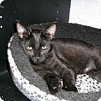 Adopt A Pet :: Desi - New Port Richey, FL