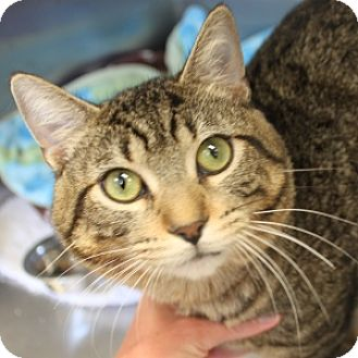 Domestic Shorthair Cat for adoption in Naperville, Illinois - Moe