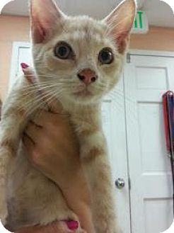 Domestic Shorthair Kitten for adoption in Reisterstown, Maryland - Helicopter