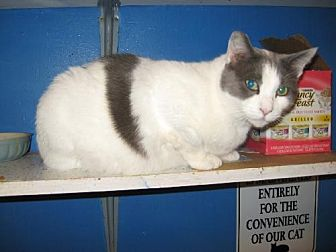 Domestic Shorthair Cat for adoption in Coos Bay, Oregon - Abner