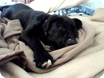 Labrador Retriever Mix Puppy for adoption in Blountstown, Florida - Micah