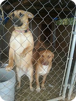 Black Mouth Cur Mix Puppy for adoption in Lyndhurst, New Jersey - Bonnie