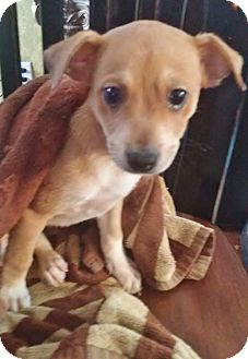 Toy Fox Terrier/Jack Russell Terrier Mix Puppy for adoption in Inland Empire, California - MILLIE