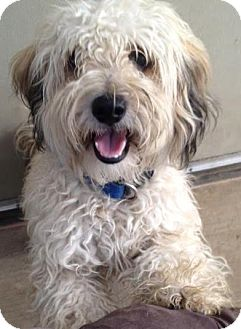 Lhasa Apso/Poodle (Miniature) Mix Dog for adoption in Westminster, California - Fozzie