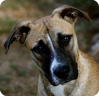Labrador Retriever Mix Dog for adoption in berwick, Maine - Junea