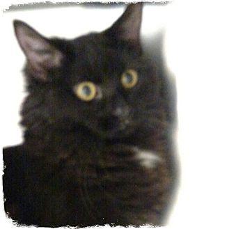Domestic Longhair Cat for adoption in Pueblo West, Colorado - Pearl