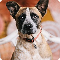 Adopt A Pet :: Scout - Portland, OR