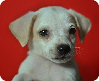 Beagle/Chihuahua Mix Puppy for adoption in Riverside, California - Thumper