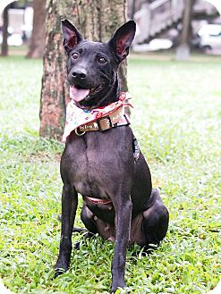 Shepherd (Unknown Type)/Bulldog Mix Dog for adoption in Castro Valley, California - Anila