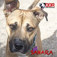 Adopt A Pet :: Sahara - St. Clair Shores, MI