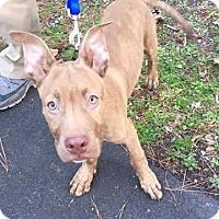 Adopt A Pet :: Stitch - Durham, NC