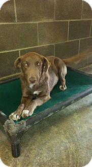 Labrador Retriever Mix Dog for adoption in Providence, Rhode Island - Cinnamon