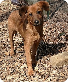 Golden Retriever/Collie Mix Puppy for adoption in Baltimore, Maryland - Ginger