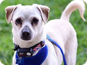 Terrier (Unknown Type, Small)/Chihuahua Mix Dog for adoption in Los Angeles, California - Ollie