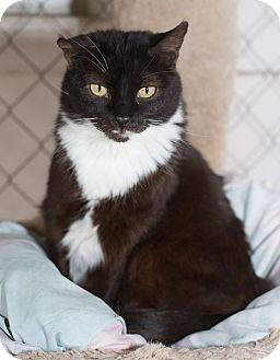 Domestic Shorthair Cat for adoption in Fallbrook, California - Too