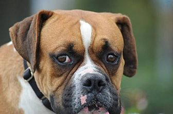 Boxer Dog for adoption in Alameda, California - McIntosh