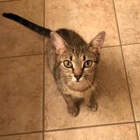 Adopt A Pet :: Dixie TG - Schertz, TX