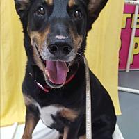 Adopt A Pet :: Koda - Hawk Point, MO
