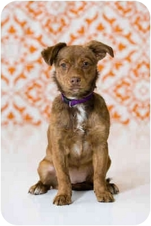 Chihuahua Mix Puppy for adoption in Portland, Oregon - Maple